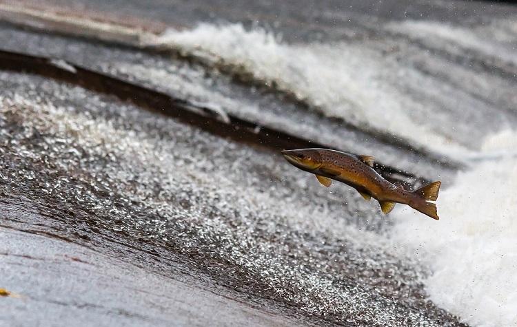 salmón contracorriente
