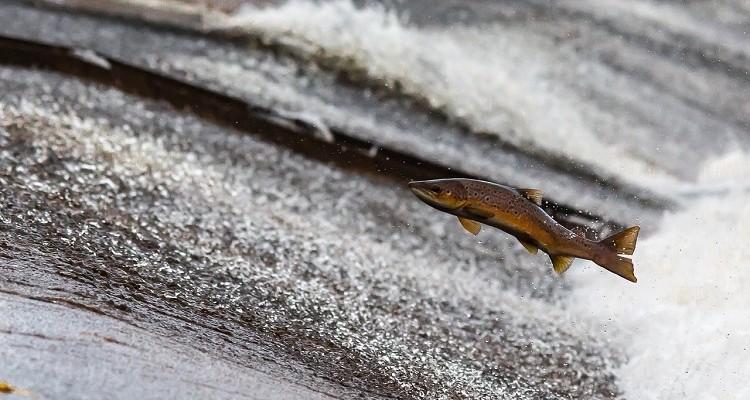 Complejo de salmón de un autoestopista contracorriente